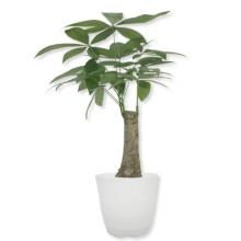 精品绿植发财树