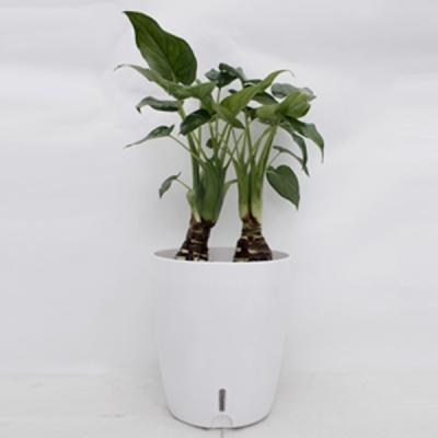 精品小绿植千手观音带多功能地气花盆