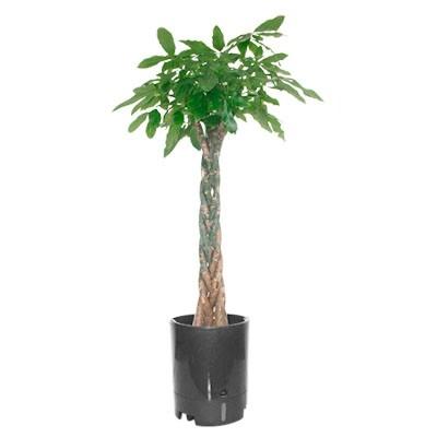 精品绿植五辫发财树