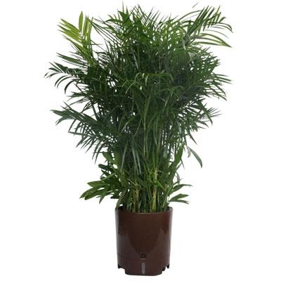 精品夏威夷椰子